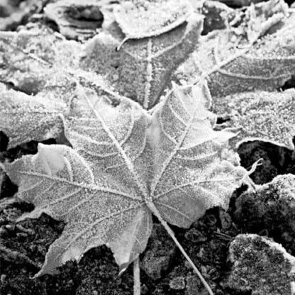White Ice Mt Baker Vapor
